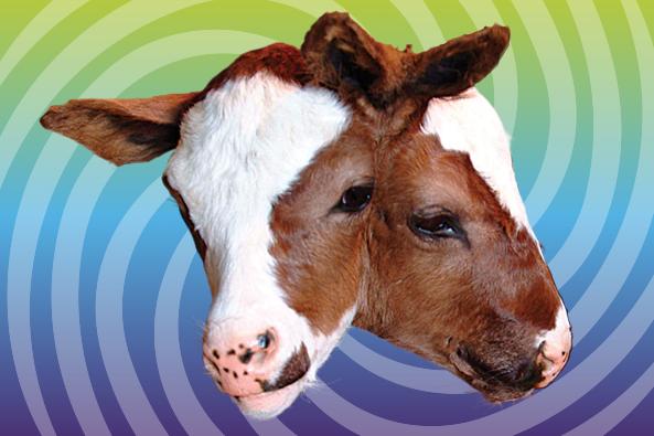 twin-cow-heads